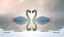 two swans form a heart