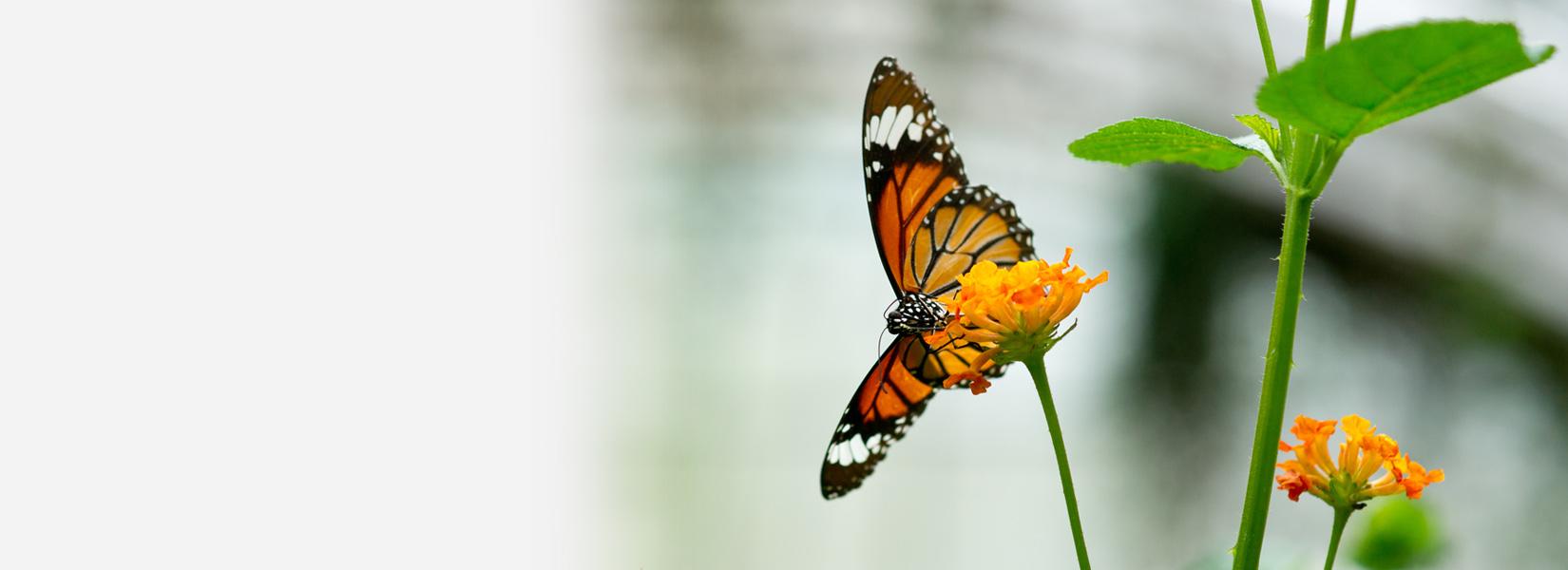 monarch butterfly lights on flower